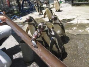 ペンギン流しアジ2