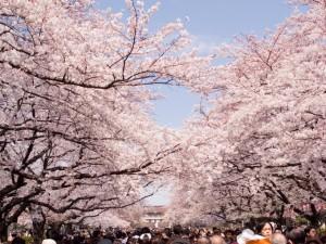 上野公園さくら